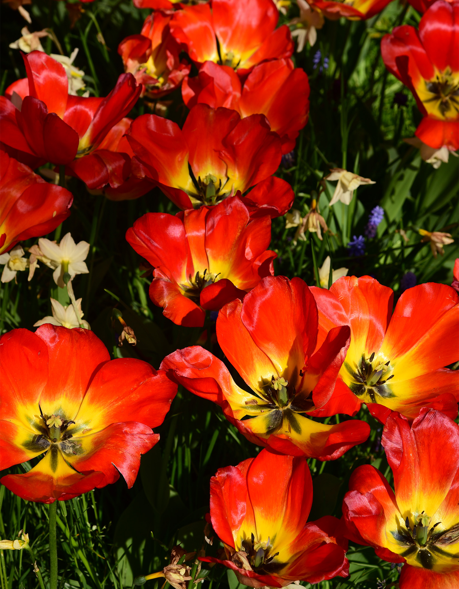 Tulips in full bloom at a square garden in Amsterdam